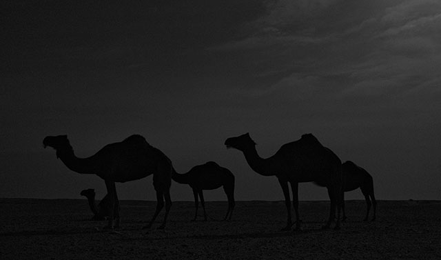 Camels by moonlight. Leica M Monochrom