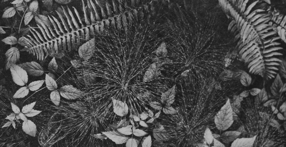 "Ansel Adams: Leaves. ""The camera reveals the pattern of nature."" 4x5 Corona view camera, Goerz Dagor 4 1/2-in. lens, 1 second, f/4.5, Eastman super-sensitive panchromatic film."