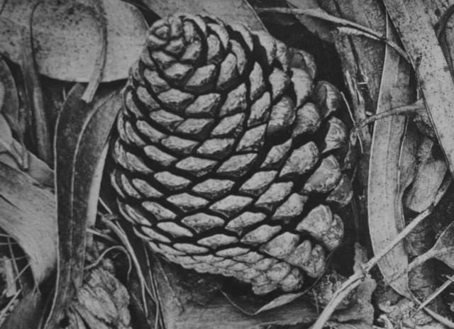 "Ansel Adams: Pine Cone and Eucalyptus Leaves. ""True photogprahic quality, every shape delicately distinct."""